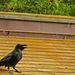 リキマルラボ|屋根のカラス